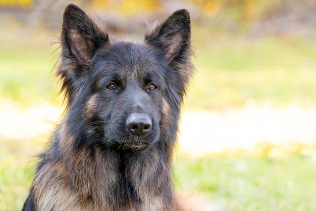 大きな毛むくじゃらの犬種ジャーマンシェパードがぼやけた背景、犬の肖像画にクローズアップ