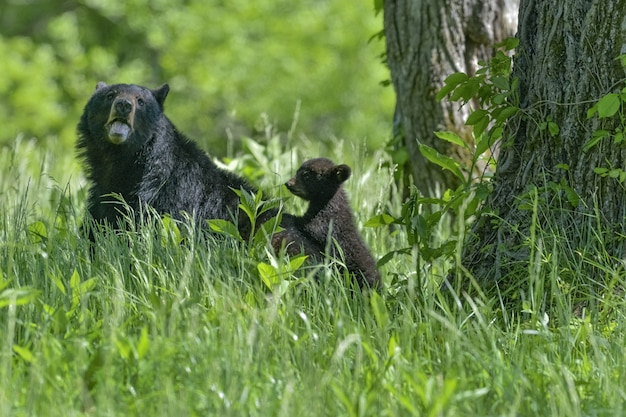 Grande e piccolo orso che giocano insieme in una foresta sotto la luce del sole