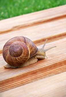 Big snail crawling on wooden table. macro foto.