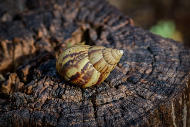 Big snail in shell crawling on timber