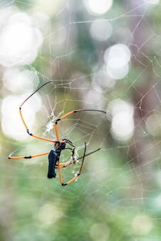 Big spider feeds on insect captured on web