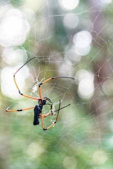 大きなクモがウェブで捕獲された昆虫を餌にする