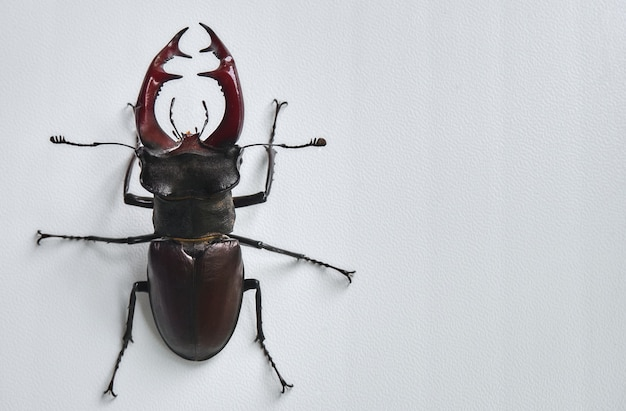 Большой жук-олень.