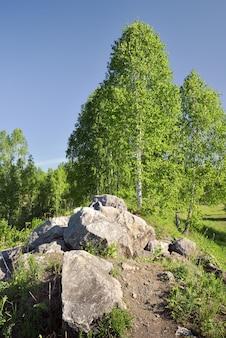 봄 자작 나무 사이 큰 돌