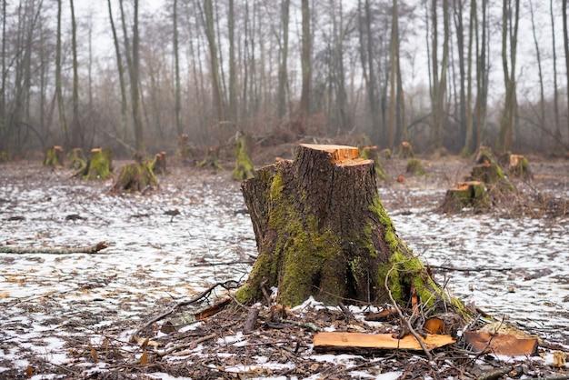 伐採された森林地帯のハンノキの木の大きな切り株