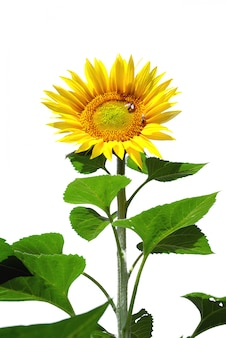 Big sunflower isolated
