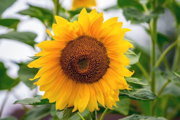 緑に黄色の花びらを持つ大きなひまわり Premium写真