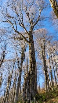 가 숲에서 큰 키 큰 나무입니다. 러시아 크라스나야 폴리아나