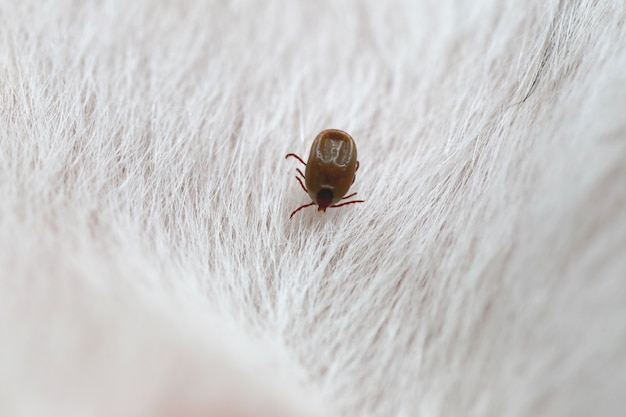 Big ticks on a dog.