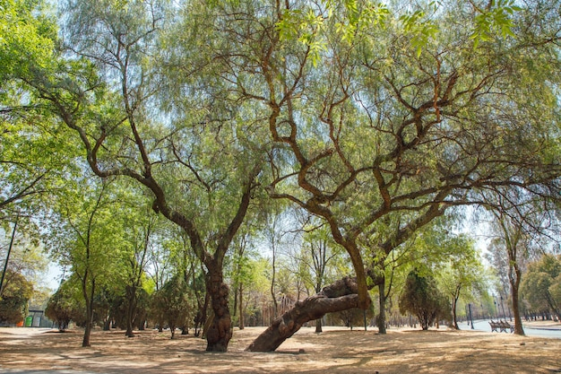メキシコシティ公園の大きな木