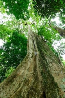 熱帯林の大きな木