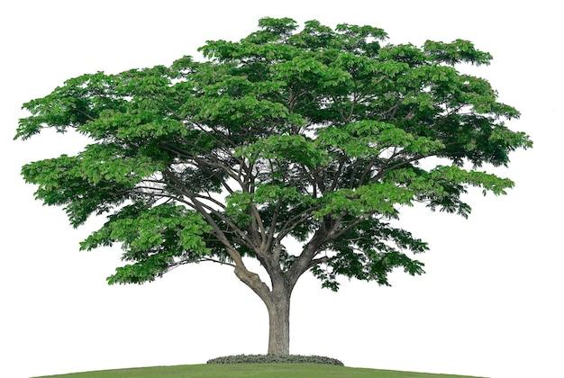 흰색 배경 및 지상에 잔디에 고립 된 큰 나무