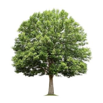 고립 된 큰 나무