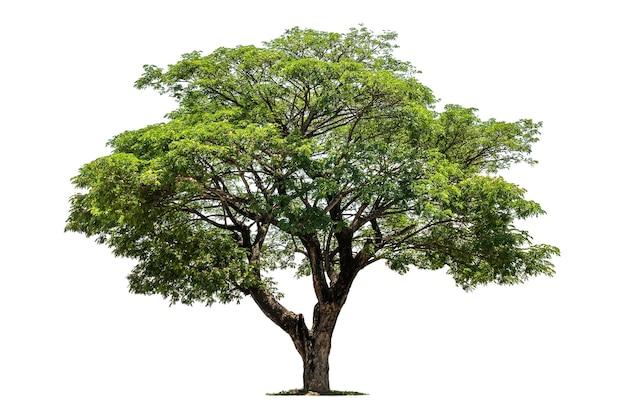 孤立した大きな木
