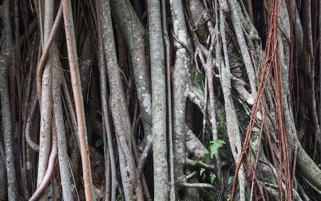 木製の織り目加工の背景として大きな木の根。有機的な背景。大きい。