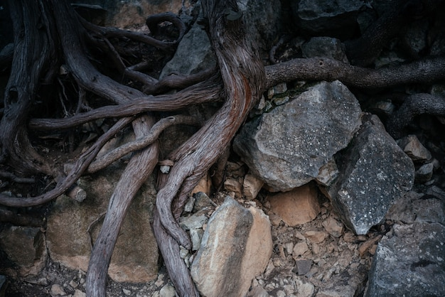 Big tree roots and rocks above the ground