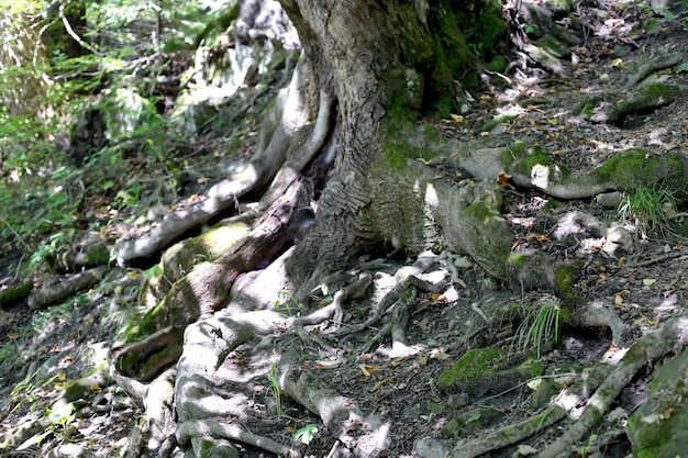 Big tree roots in wild forest