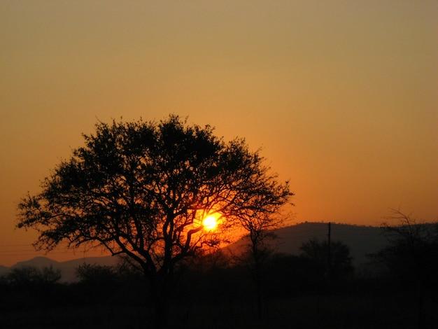 Большой силуэт дерева на закате
