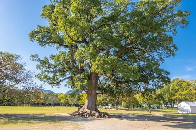 熊本城の近くの青い空を背景に大きな木