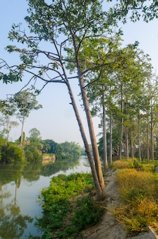 The big trees near river in thailand