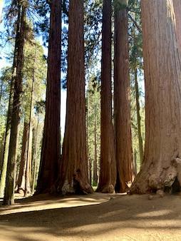 セコイア国立公園の大きな木