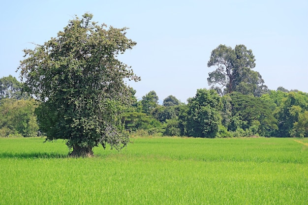 Big trees in the vibrant green paddy field with growing rice plants