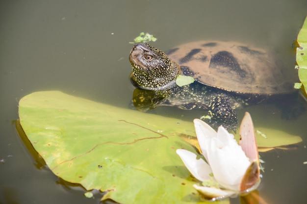 Big turtle swims in lake during daytime. beautiful white lotus on the foreground