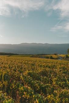 Большой виноградник под красивым ярким небом в солнечный день