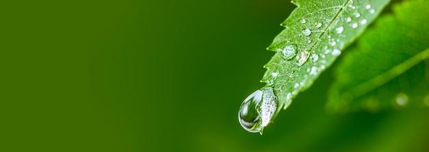 大きな水滴緑の葉に水。水滴の美しい葉。環境コンセプト。葉から落ちる雨滴の写真。長く広いバナー。デザイン用のスペースをコピーします。