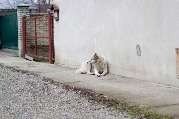 Большая белая взрослая умная собака породы западно-сибирская лайка сидит на страже дома на открытом воздухе.