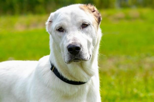 散歩中の公園で大きな白いアラバイ犬、犬の肖像画をクローズアップ
