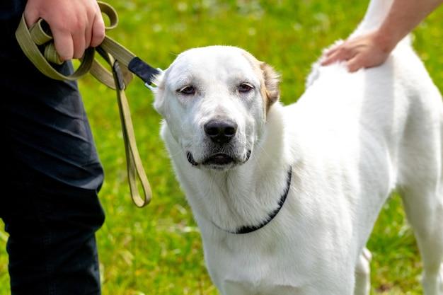 飼い主の近くにいる大きな白いアラバイ犬。別の男が彼の手で犬を撫でる