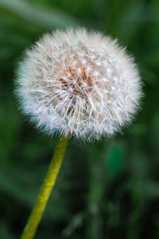 大きな白いタンポポと緑の草