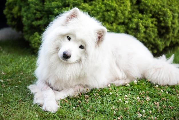 サモエド犬種のふわふわした髪の大きな白い犬