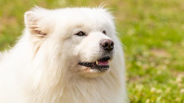 大きな白いふわふわの犬種サモエドのクローズアップ、犬の肖像画