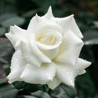 The big white rose is beautiful
