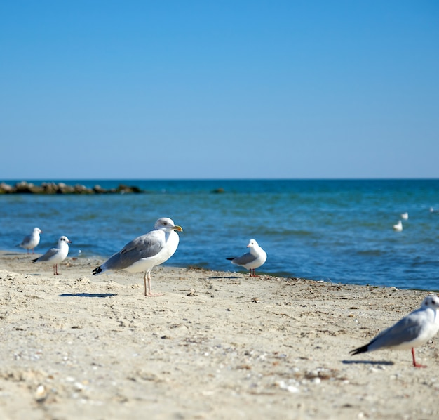 Big white sea gulls on the sandy coast of the black sea on summer day