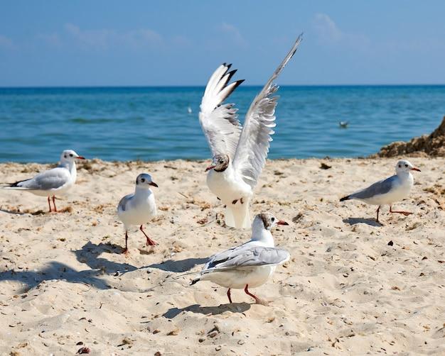 Big white sea gulls on the sandy coast of the black sea