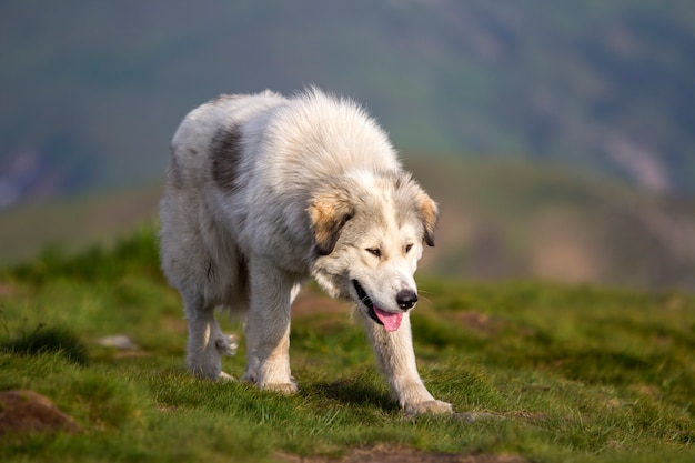 Big white shaggy grown clever shepherd dog walking alone on steep green grassy rocky mountain meadow on sunny summer day  of dark blue foreboding evening sky.