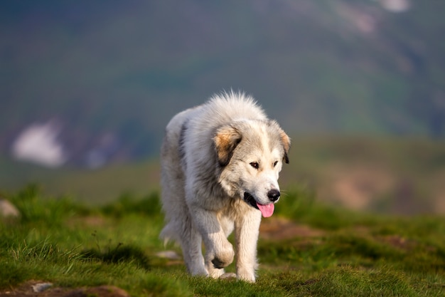 Big white shaggy grown clever shepherd dog walking alone on steep green grassy rocky mountain meadow