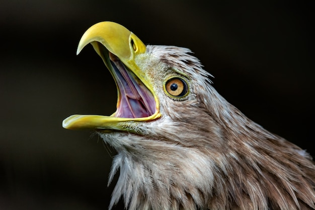 Big white-tailed eagle, portrait of a bird