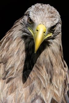 大きなオジロワシ、鳥の肖像画
