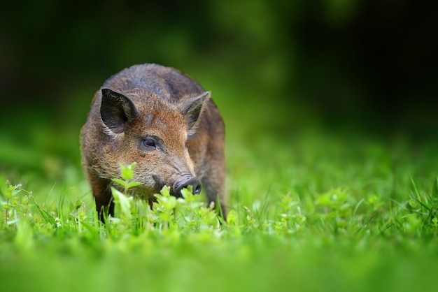 Big wild boar. summer in the forest. sus scrofa, summer forest