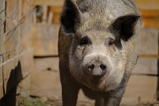 목장 나무 울타리 배경에서 실행 큰 멧돼지 sus scrofa 농장에서 멧돼지의 초상화