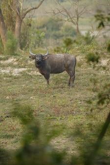 인도의 카지랑가 국립공원에 있는 큰 야생 물소