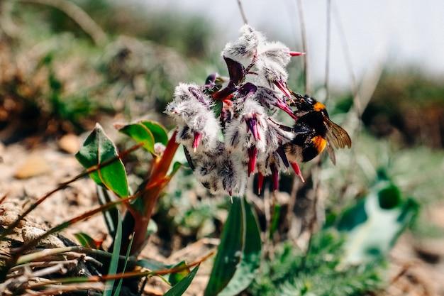 큰 노란색 땅벌은 흰색 솜털 식물에 꿀을 마신다