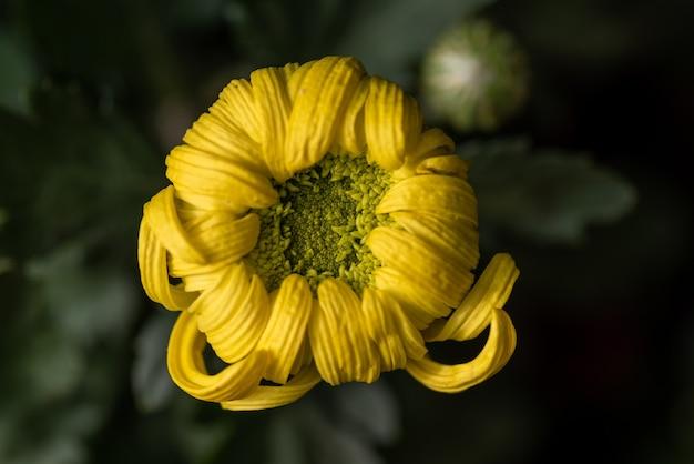 公園の大きな黄色い菊