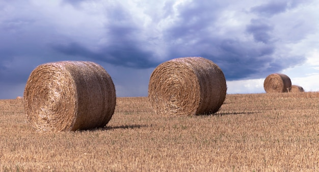 Big yellow round bales of straw on the field