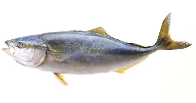 Большая желтохвостая рыба на белом фоне