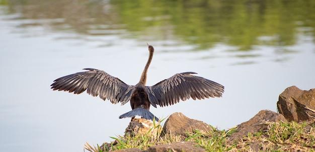 비구아팅가 브라질 수생 조류는 태양, 자연광, 선택적 초점에서 날개를 말리고 있습니다.